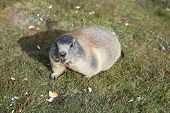 picture of marmot  - Alpine Marmot  - JPG