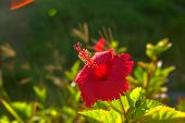image of hibiscus  - Tropical red bright flower hibiscus in Okinawa - JPG