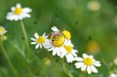 picture of daisy flower  - daisy flowers focal point on camera in bee on daisy flower during the focus blurred background - JPG