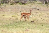 pic of antelope horn  - antelope and her cub on a background of green grass  - JPG