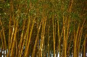 picture of bamboo forest  - bamboo forest - JPG