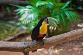 image of toucan  - Large bird with bright plumage and a huge beak - JPG