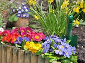 image of primrose  - flowersbed of primroses and narcissus behind a wooden border