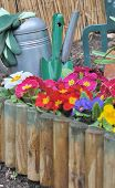 picture of primrose  - wooden border with colorful primroses and gardening tools  - JPG