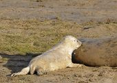 foto of off-shore  - Atlantic Grey Seal Pup - Halichoerus grypus Feeding off mother - JPG