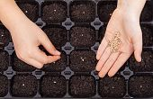 foto of germination  - Child hands spreading seeds into germination tray  - JPG
