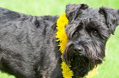 foto of schnauzer  - Decorated Black Miniature Schnauzer Dog Closeup Side View - JPG