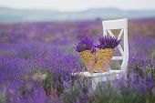 picture of lavender plant  - Summer - JPG