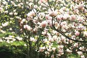 pic of magnolia  - Lotus-flowered Magnolia,Large-flowered Magnolia,many beautiful pink flowers blooming in the countryside in spring,