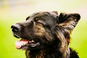 stock photo of shepherd dog  - Sweet Funny Black German Shepherd Dog. Close Up Portrait On Green Background