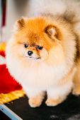 picture of pomeranian  - Pomeranian Puppy Small Spitz Dog Close Up Portrait