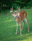 stock photo of black tail deer  - Near a forest edge a big whitetail buck is standing still - JPG