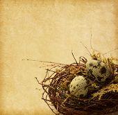 picture of quail egg  - Two Quail eggs in nest - JPG