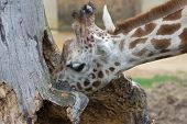 stock photo of hollow  - A young curious Giraffe investigating the contents of a hollow tree trunk - JPG