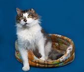 foto of blue tabby  - White and fluffy tabby cat sitting in motley couch on blue background - JPG