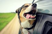 picture of car-window  - A happy German Shepherd mix breed dog is smiling with his tounge hanging out and his eyes closed as he sticks his head out the family car window while drving down the road - JPG