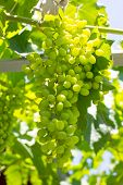 foto of vines  - Bunch of young green vine leaves and grape vine at the sun rays - JPG