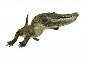 pic of alligator  - 3D digital render of an American alligator isolated on white background - JPG