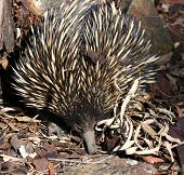 Echidna or Spiny Anteater - Australian native animal, photographed in the wild