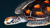 stock photo of sea-turtles  - view of giant sea turtle sliding smoothly in water environment