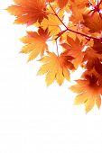 pic of canada maple leaf  - Autumn Leaf Background - JPG