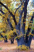 California Black Oak Trees Changing Colors During Autumn Taken At A Rural Plain And Oak Woodland In  poster