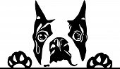 Animal Dog Boston Terrier 6Y73 (2) Peeking.eps poster