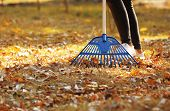 Woman Cleaning Up Fallen Leaves With Rake On Sunny Day. Autumn Work poster