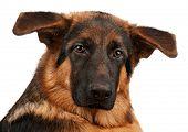 image of german-sheperd  - German Shepherd puppy - JPG