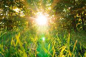 Sunset Or Sunrise In Forest Landscape. Sun Sunshine With Natural Sunlight And Sun Rays Through Woods poster