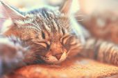Sleeping Cat. Sleeping Cat On A Sofa, Kitty Face Close Up, Small Lazy Kitten On Day Time, Domestic P poster