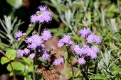 Floss Flower Or Ageratum Houstonianum Or Flossflower Or Bluemink Or Blueweed Or Pussy Foot Or Mexica poster