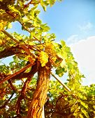 Picture of beautiful vineyard, green grape valley, fresh ripe fruits,  harvest season of grapes, vit