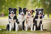 stock photo of collie  - group of happy dogs border collies sitting on the grass in summer - JPG