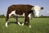 foto of hereford  - A pedigree Hereford Bull in grass pasture field looking at camera - JPG