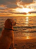 stock photo of funny animals  - A Labrador retriever watching the sun go down Usedom Germany - JPG