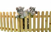 picture of white tiger cub  - white bengal tiger and wooden fence isolated on white background - JPG