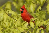 picture of cardinal-bird  - Male Northern Cardinal  - JPG