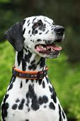 picture of bitch  - Portrait of beautiful dalmatian bitch on the garden - JPG