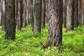 picture of pinus  - Pine forest in sunny day - JPG