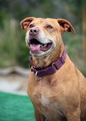 stock photo of pitbull  - A smiling pitbull posing for her portrait outside - JPG