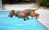stock photo of pitbull  - A dog diving off the side of a pool into the water during the summer - JPG