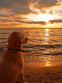 image of funny animals  - A Labrador retriever watching the sun go down Usedom Germany - JPG
