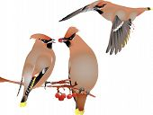 Waxwings in winter