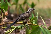 pic of babbler  - A Young Levaillant - JPG
