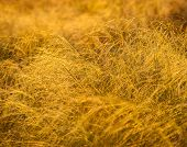 picture of prairie  - prairie yellow grass lit evening sunlight closeup - JPG