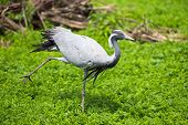 foto of virgo  - Bird Demoiselle Crane  - JPG