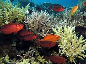 stock photo of bigeye  - A school of common bigeyes takes shelter under table corals
