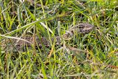 pic of goanna  - Closeup of camouflaged Monitor Lizard in Chobe National Park - JPG
