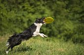 stock photo of frisbee  - Border collie dog catching the frisbee on the green meadow - JPG